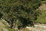 Acer campestre (form) 02.tif
