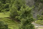 Acer campestre (form).tif