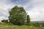 Acer obtusatum (form).tif