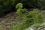 Acer platanoides (form) 02.tif