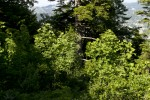Aceraceae (Πλατανίδες)