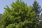 Acer pseudoplatanus (form) 02.tif