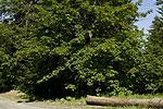 Acer pseudoplatanus (form).tif