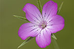 Caryophyllaceae (Καρυοφυλλίδες)