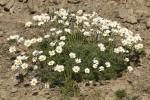 Anthemis cretica ssp carpatica.tif