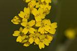 Aurinia saxatilis ssp orientalis.tif