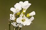 Cardamine raphanifolia ssp barbareoides.tif