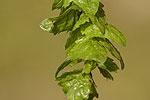 Carpinus orientalis.tif