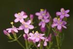 Gentianaceae (Γεντιανίδες)