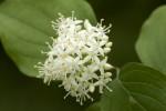 Cornaceae (Κορνίδες)