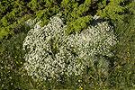 Daphne oleoides and Juniperus communis.tif