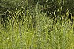 Echium italicum (form).tif