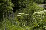 Echium vulgare (form).tif