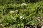 Heracleum sphondylium.tif