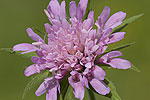 Dipsacaceae (Διψακίδες)