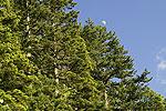 Μαύρη πεύκη (Pinus nigra)<span class=\'common_name\'>, πεύκο, μαυρόπευκο</span>