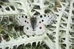 Parnassius apollo (Πεταλούδα παρνάσσιος απόλλων)<span class=\'common_name\'>, πεταλούδα</span>