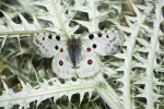 Parnassius apollo (Πεταλούδα Παρνάσσιος Απόλλων)