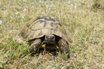 Testudo hermanni (Ονυχοχελώνα )<span class=\'common_name\'>, ονυχοχελώνα, μεσογειακή χελώνα</span>