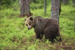 Ursus arctos (Αρκούδα)