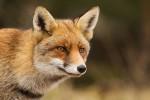 Vulpes vulpes(Αλεπού)