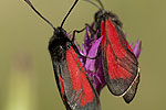 Zygaena<span class=\'common_name\'>, πεταλούδα</span>