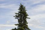 Pinaceae (Πευκίδες)