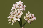Rubiaceae (Ρουβιίδες)