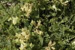 Astragalus sirinicus.tif