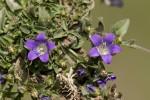 Campanula tymphaea.tif