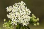 Chaerophyllum temulentum.tif