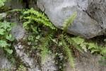Hypolepidaceae (Υπολεπιδίδες)