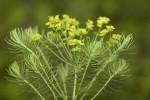 Euphorbiaceae (Ευφορβίδες)