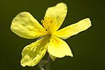 Helianthemum canum.tif