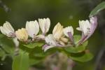 Caprifoliaceae (Καπριφυλλίδες)