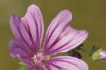 Malvaceae (Μαλβίδες ή Μαλαχίδες)