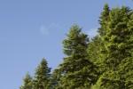 Μεικτό δάσος ελάτης και οξιάς<span class=\'common_name\'>, οξυά</span>