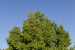Ostrya carpinifolia (form).tif