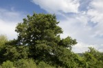 Quercus cerris (form).tif