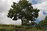 Quercus pubescens (form).tif